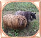 Sheep in frame